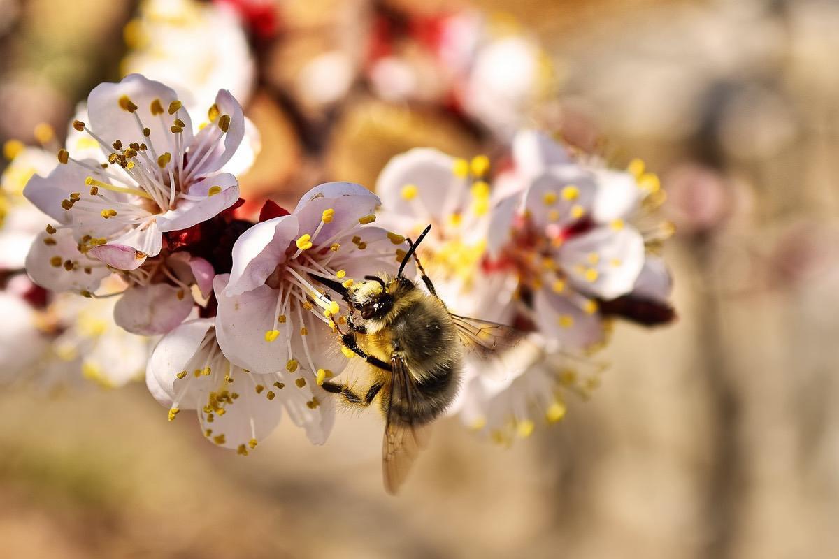 abeja recolectando nectar y polen