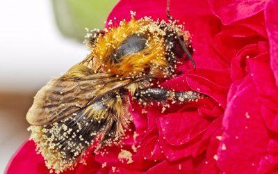 Polen de abeja: Beneficios y efectos secundarios