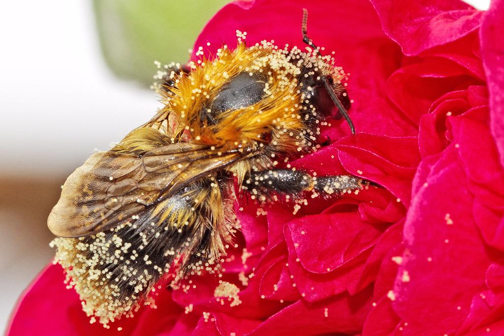 abeja con polen en su cuerpo